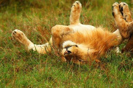 hunter playful: Young wild african lion playing. Africa. Kenya. Masai Mara Stock Photo