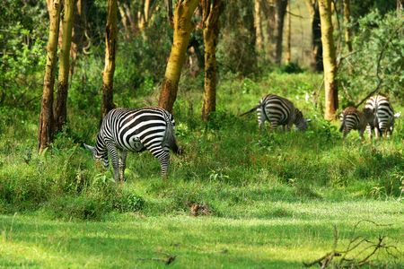 nakuru: Wild zebras. Africa. Kenya. Lake Nakuru
