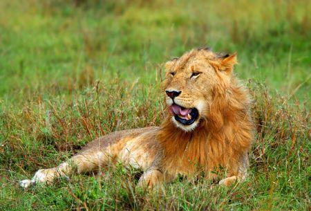 Portrait of young wild african lion. Africa. Kenya. Masai Mara photo