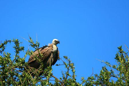 Griffon vulture on the tree. Africa. Kenya. Masai Mara photo