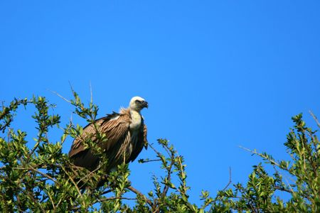 Griffon vulture on the tree. Africa. Kenya. Masai Mara photo