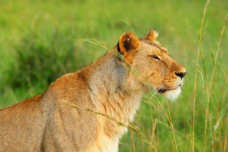 Wild african lioness. Africa. Kenya. Masai Mara photo