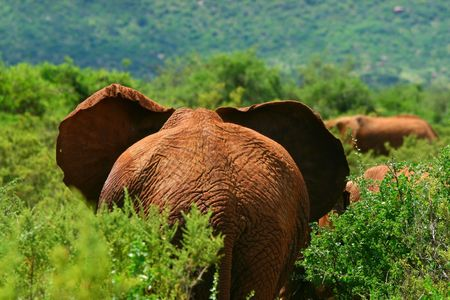 African Elephant in the wild. Africa. Kenya. Samburu national park. photo
