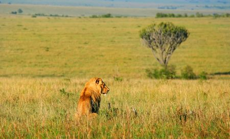 mara: Wild african lion. Africa. Kenya. Masai Mara Stock Photo