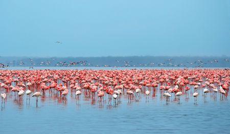 Bandadas de flamencos. África. Kenia. Lago Nakuru Foto de archivo - 5277048