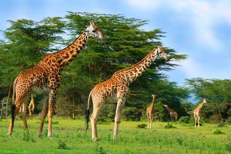 wetland conservation: Family of wild giraffes on the lake Naivasha. Africa. Kenya