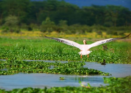 flying great white pelican above lake Naivasha. Africa. Kenya photo