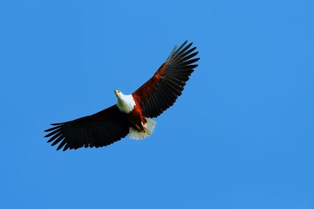 African fish eagle flying up in the blue sky above lake Naivasha. Africa. Kenya Stock Photo - 5327581