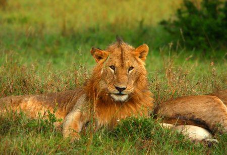 Retrato de joven león salvaje africano. �frica. Kenia. Masai Mara Foto de archivo - 5327583