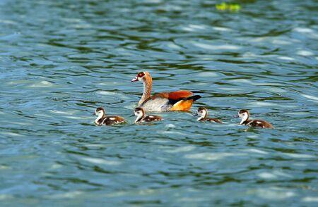 Goose with new borne family on the lake Naivasha. Africa. Kenya photo