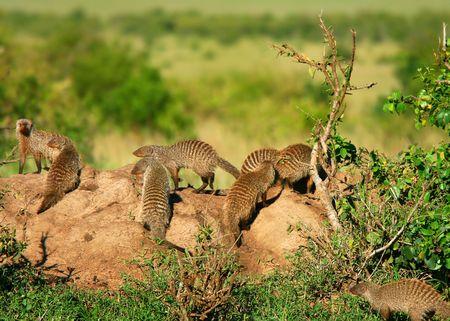 mongoose: Heap of Mongoose. Africa. Kenya. Masai Mara Stock Photo