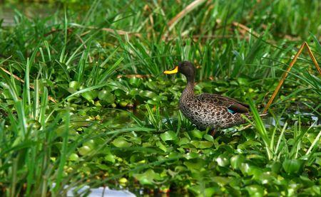 lake naivasha: Yellow-billed duck on the lake Naivasha. Africa. Kenya Stock Photo