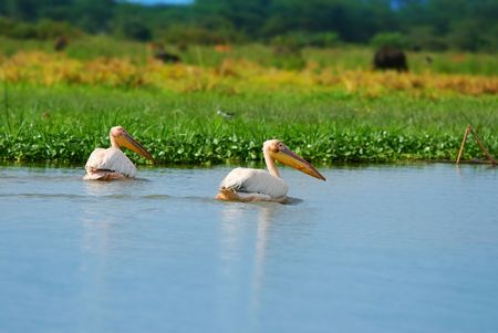 great white pelicans on the lake Naivasha. Africa. Kenya photo