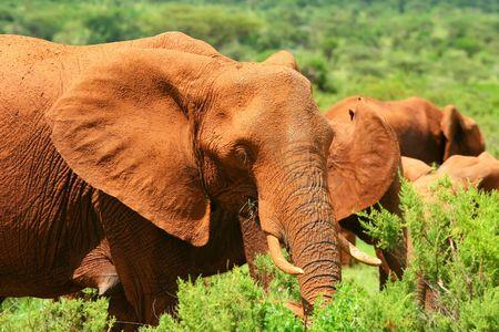 African Elephant in the wild. Africa. Kenya. Samburu national park. photo
