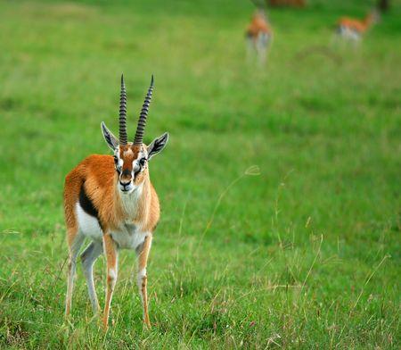 the national flag of kenya: Retrato de antílope. Africa. Kenia. Parque Nacional de Samburu.
