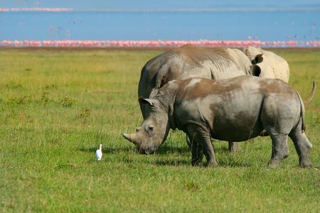 Rinoceros in the wild. Africa. Kenya. Lake Nakuru photo