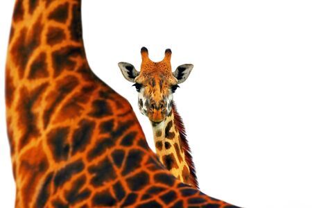 Portrait of mother and baby giraffe isolated in white background photo