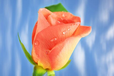 Pink Rose with drops against blue background photo