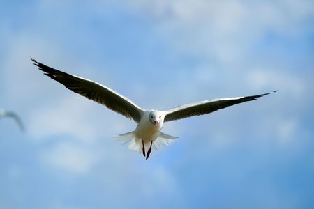 lake naivasha: seagull, flying up in the blue sky above lake Naivasha. Africa. Kenya
