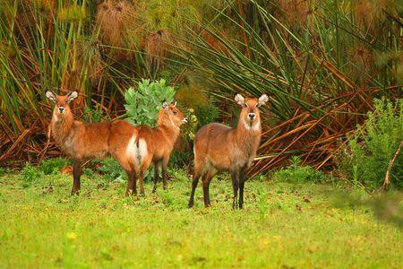 lake naivasha: Family of waterbuck on the lake Naivasha. Africa. Kenya