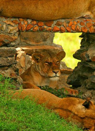 Portrait of wild lion. Africa. Kenya. Masai Mara photo