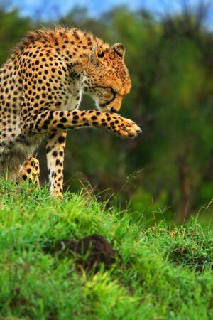 Wild african cheetah. Africa. Kenya. Masai Mara photo