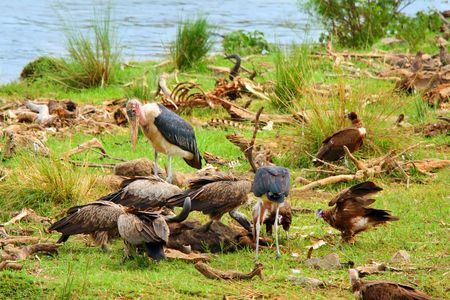 Vultures and Mararou stork feeding on dead. Africa. Kenya. Masai Mara photo