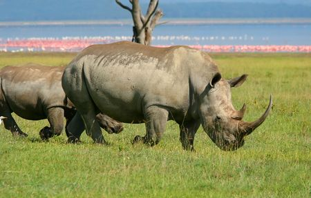 nakuru: Rinoceros in the wild. Africa. Kenya. Lake Nakuru Stock Photo