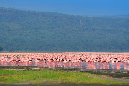 Flocks of flamingo. Africa. Kenya. Lake Nakuru photo