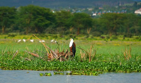 lake naivasha: African fish eagle on the lake Naivasha. Africa. Kenya