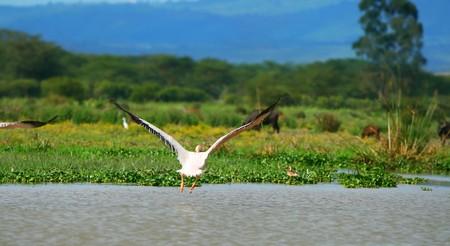 lake naivasha: flying great white pelican  above lake Naivasha. Africa. Kenya