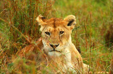 Lioness in the wild. Africa. Kenya. Masai Mara photo