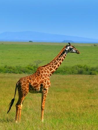 Wild African Giraffe. Africa. Kenya. Masai Mara. photo