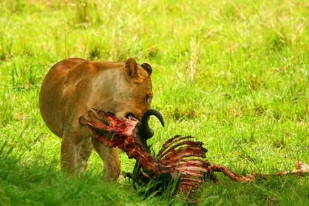 Wild africam lioness eating wildebeest. Africa. Kenya. Masai Mara photo