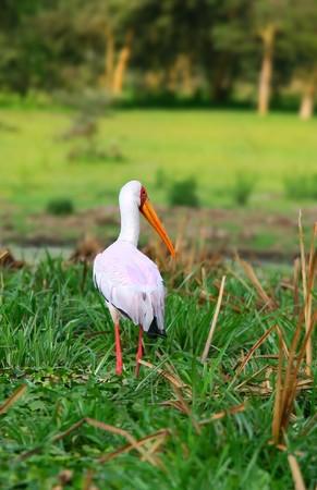 lake naivasha: Yellow billed stork on the lake Naivasha. Africa. Kenya