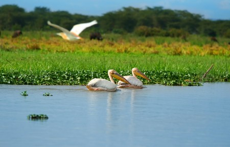 great white pelicans on the lake Naivasha. Africa. Kenya Stock Photo - 6895386