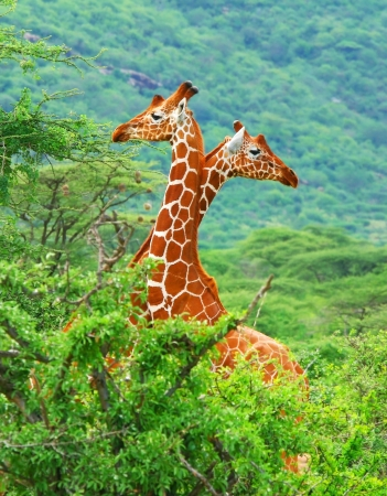 Family of giraffes spoted in the woods of Kenya. Africa photo