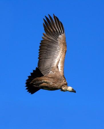 Griffon vulture in the sky. Africa. Kenya. Masai Mara Stock Photo - 7007705