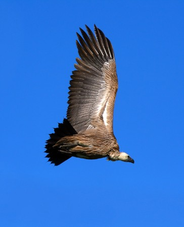 Griffon vulture in the sky. Africa. Kenya. Masai Mara Stock Photo - 7007705