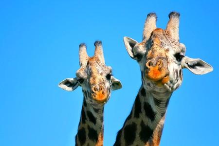 Portret van moeder en baby giraffe. Afrika. Kenia. Masai mara