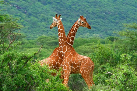 animal mating: Fight of two giraffes. Africa. Kenya. Samburu national park. Stock Photo