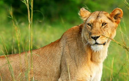 Beautiful wild africam lioness. Africa. Kenya. Masai Mara photo