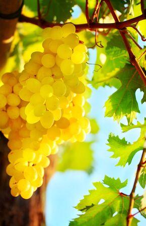 Closeup on grape bunch growing in a sunny garden with selective focus photo
