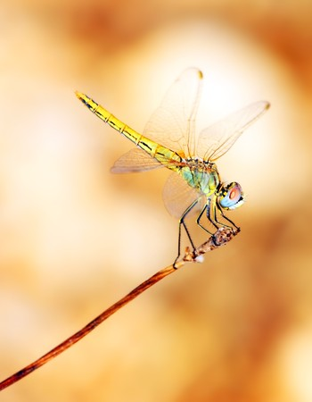 dragon: Closeup portrait of a beautiful colorful dragonfly