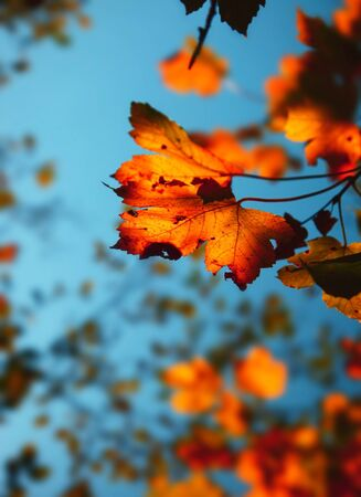 Autumn background with dry old maple leaves photo