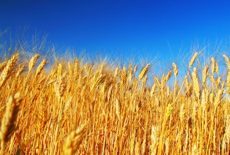 Wheat field landscape closeup on rye over blue sky Stock Photo - 7564570