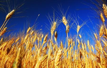Wheat field landscape closeup on rye over blue sky Stock Photo - 7564572