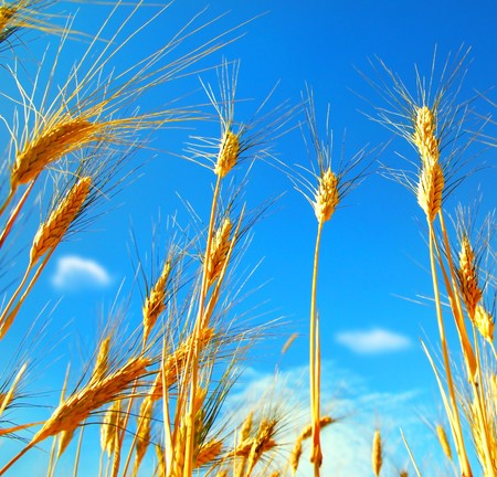 Wheat field landscape closeup on rye over blue sky Stock Photo - 7564565