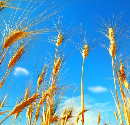 Wheat field landscape closeup on rye over blue sky Stock Photo - 7564565