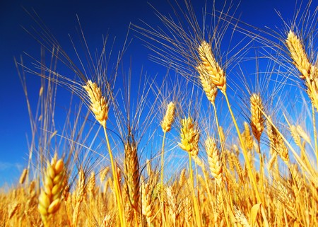 Wheat field landscape closeup on rye over blue sky Stock Photo - 7564569